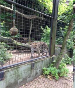 jaguar_artis