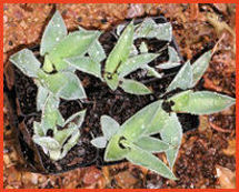 Agave potatorum pups