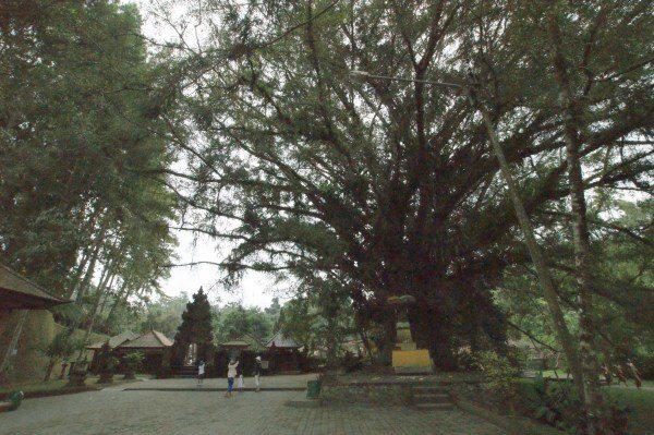ティルタ・ウンプル入り口の木