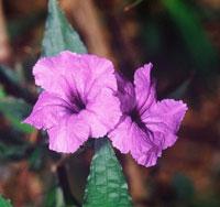 Ruellia brittoniana (Purple Showers)