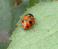Adult spotted ladybird (predator) on rose leaf