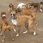 black boxer dogs: fawn boxers