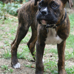 black boxer dogs: brindle boxer