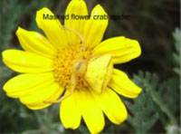 Masked flower crab spider