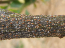 A red scale on citrus branch