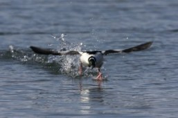 Bufflehead_taking_off