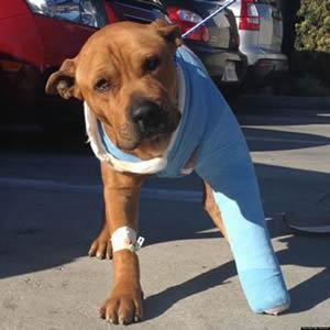 o-LAPD-PITBULL-PHILLY-facebook