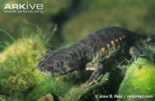 Spanish ribbed newt underwater on algae