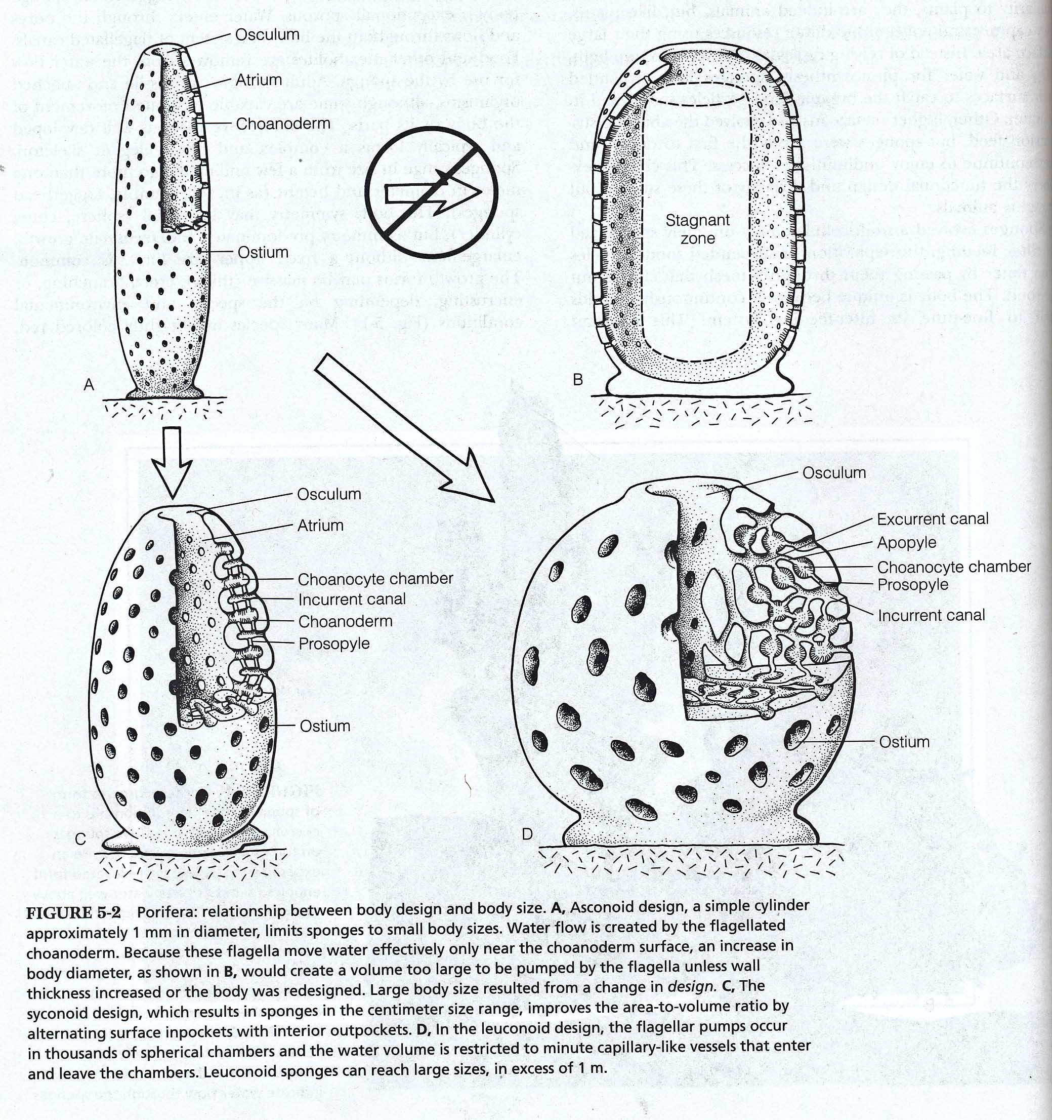 Sponge Diagrams And Photos