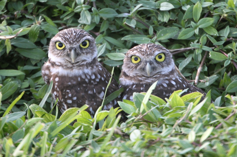 Image result for images of two owls