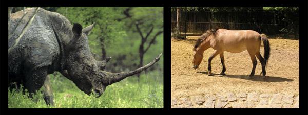 El rinoceronte negro de África oficialmente extinto - Ceratotherium-przewalski