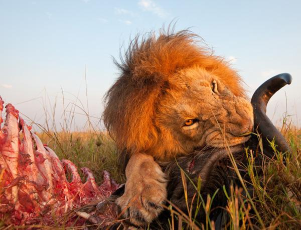 Cámara robótica capta a un león en close-up mientras devoraba a su presa - beetlecam-2