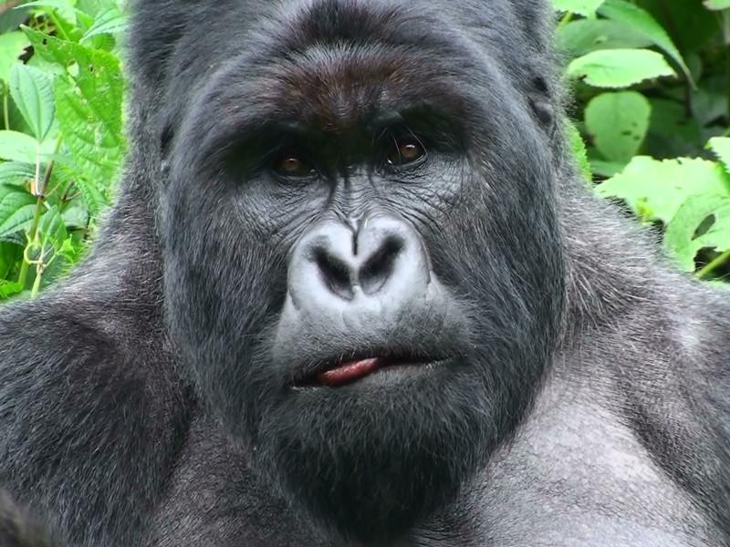 Gorilas y chimpancés también necesitan ser vacunados contra el ébola - ebola-en-gorilas