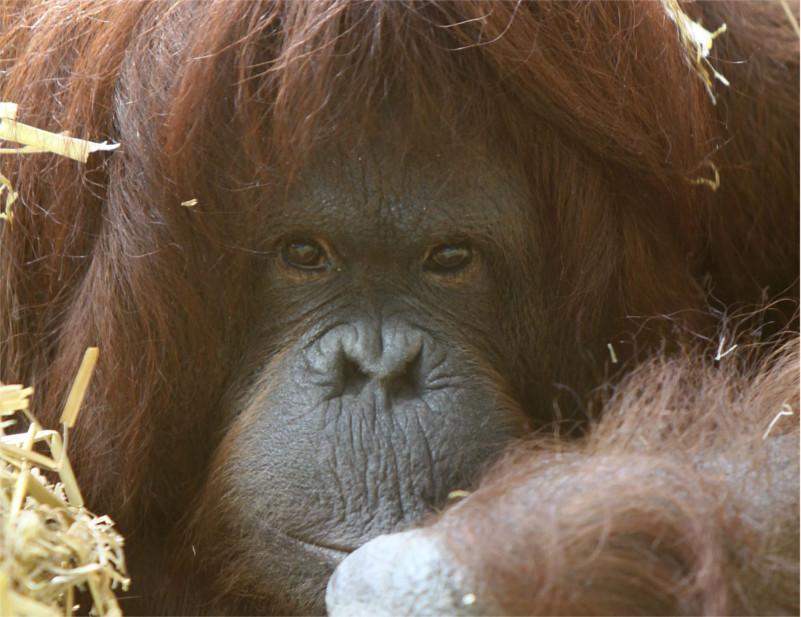 Orangután de nombre Tilda aprende a comunicarse como los humanos - orangutan-tilda