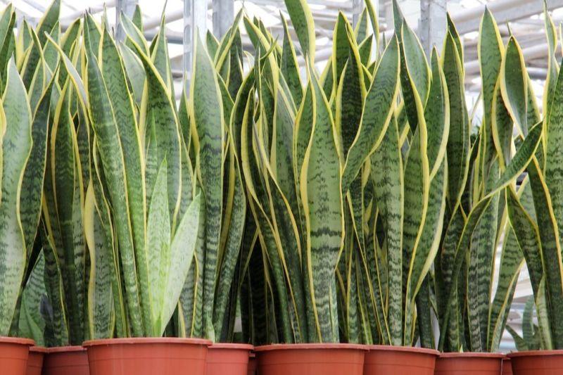 ¿Cansado del calor? 5 plantas que absorben el calor y purifican el aire de tu casa - lengua-de-tigre-800x533