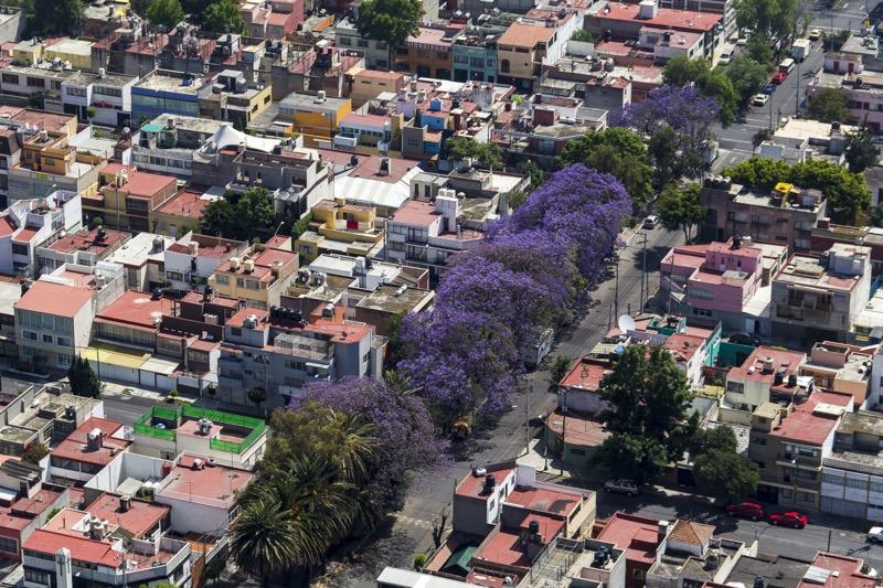 Los distintos sitios para capturar las mejores fotos de jacarandas en CDMX - jacaranda-trees-mexico-city-800x533
