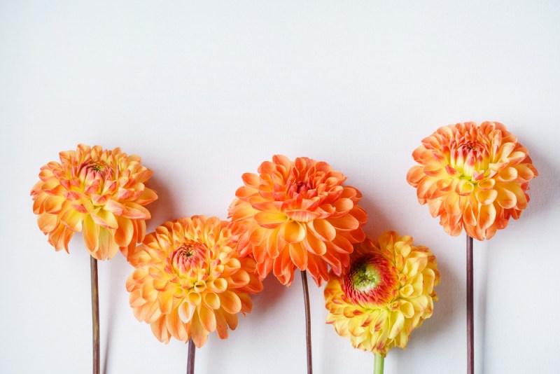 Las mejores flores para regalar o para decorar tu propio espacio - dalias-800x534