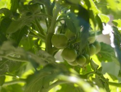 Zonnige foto van onrijpe cherry tomaatjes aan de plant