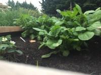 Aardappelplanten clos-up foto in de moestuinbak
