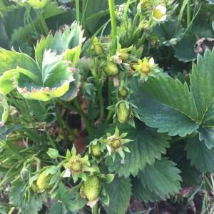 Aardbeien onrijpe vruchten