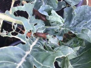 Naaktslakken op een broccoli plant in de moestuin