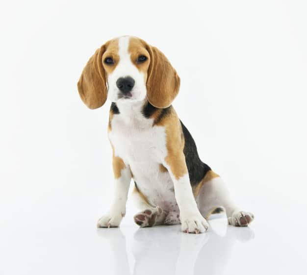 Beagle sentado com as orelhas caídas