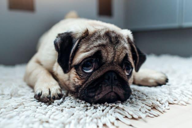 Pug deitado no tapete olhando para cima