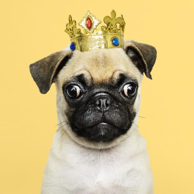 Pug com uma coroa na cabeça