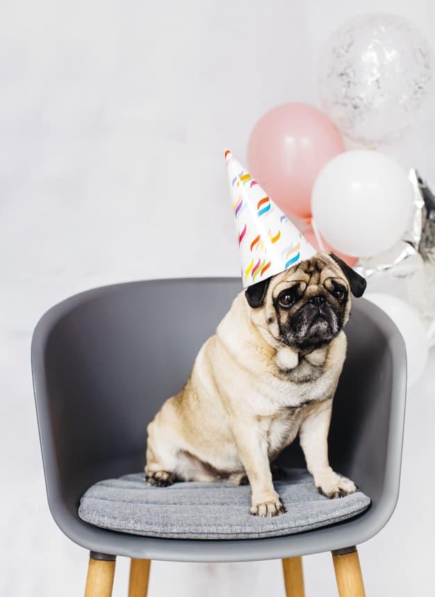 Pug sentado na cadeira com um chapéu de festa na cabeça