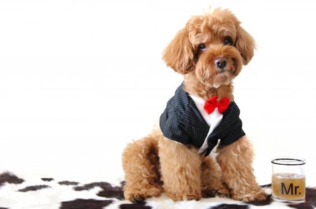 Poodle de terno e gravata