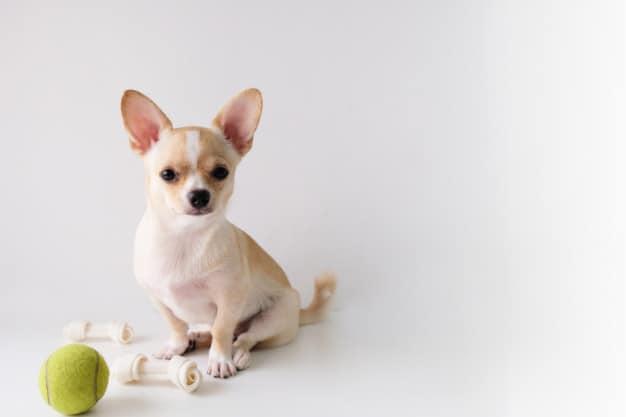 Chihuahua brincando com os seus brinquedos