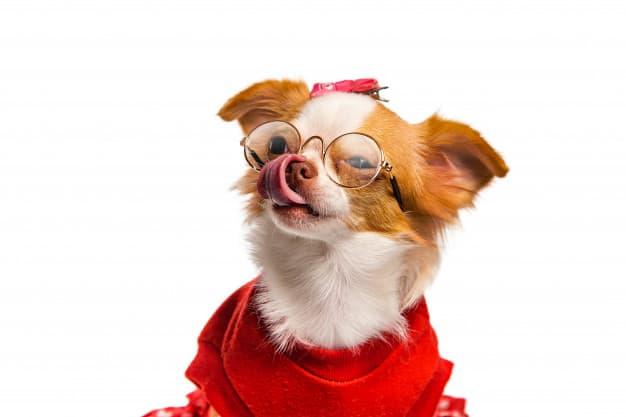 Chihuahua com óculos