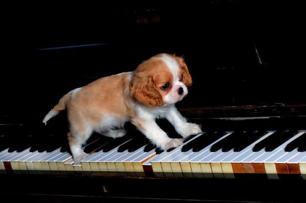 Cavalier King Charles Spaniel andando em cima do piano