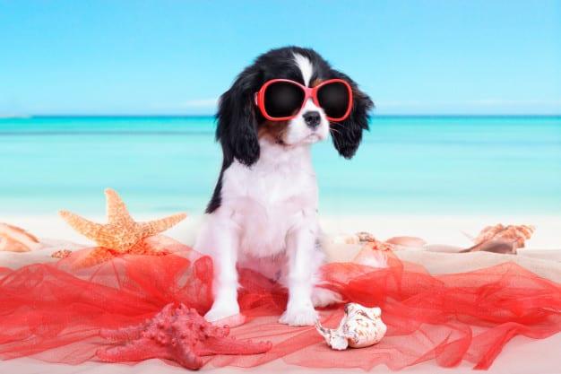 Cavalier King Charles Spaniel com olhos de sol na praia