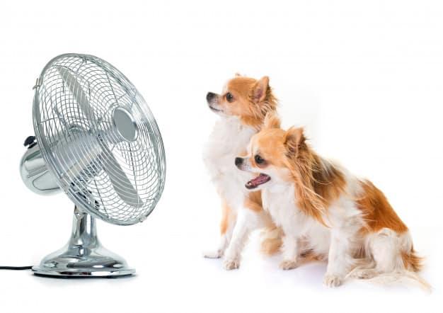 Dois Chihuahuas parados na frente do ventilador em fundo branco