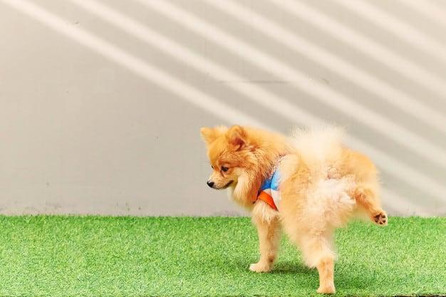 Ensinando o Cachorro a Fazer Xixi e Cocô no Lugar Certo