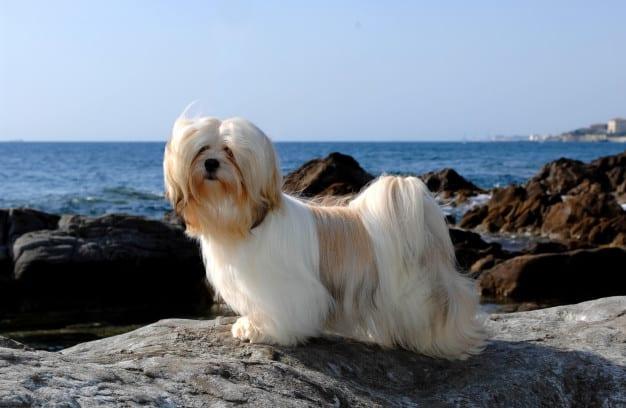 As 10 Raças de Cachorro Preferidas dos Brasileiros