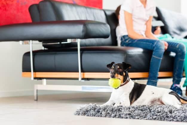 Jack Russell Terrier deitado com a bola na boca