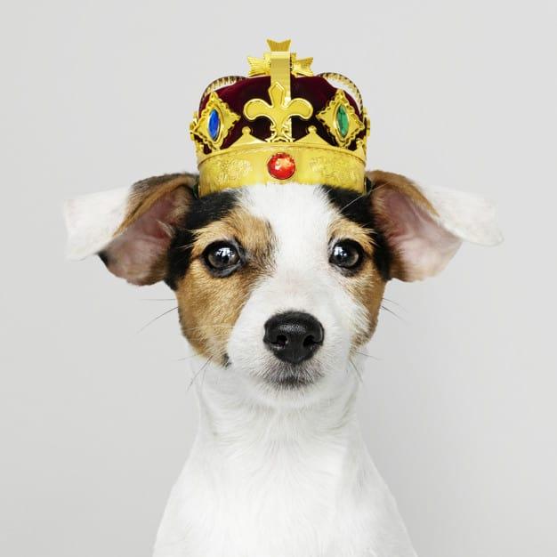 Jack Russell Terrier com uma coroa na cabeça em fundo branco