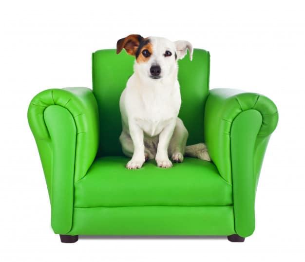 Jack Russell Terrier sentado na poltrona verde em fundo branco