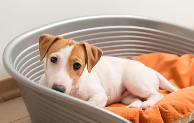 Jack Russell Terrier dentro de uma bacia