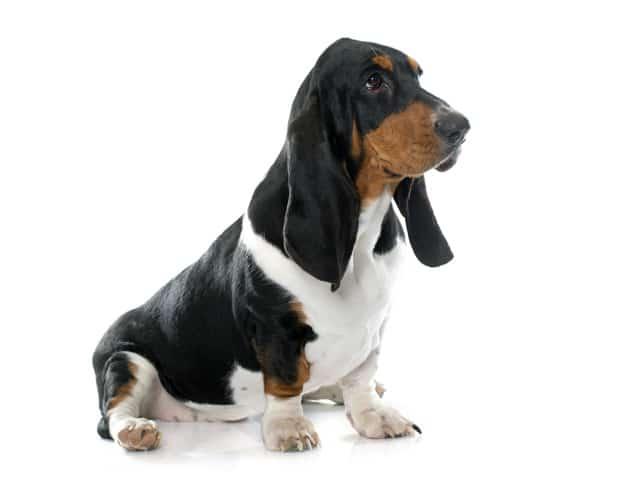 As Raças de Cachorros mais Calmas do Mundo