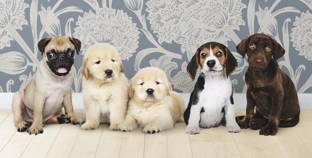 Como cuidar de filhotes de cachorros prematuros