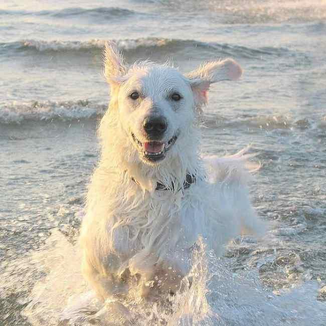 Kuvasz na praia