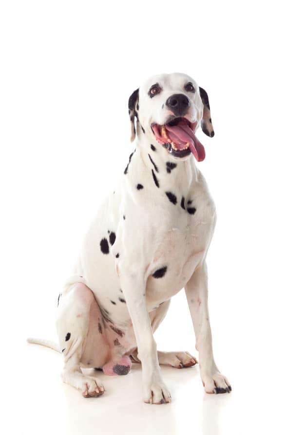 Os cachorros mais bonitos do mundo