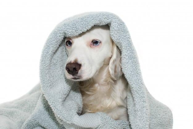Saiba como e quando dar banho a seco no seu cão
