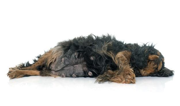 Entenda como acontece o parto canino e qual o papel do tutor