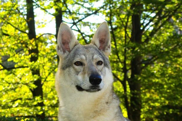 Hibrido: Conheça o Cão-Lobo e seu Santuário