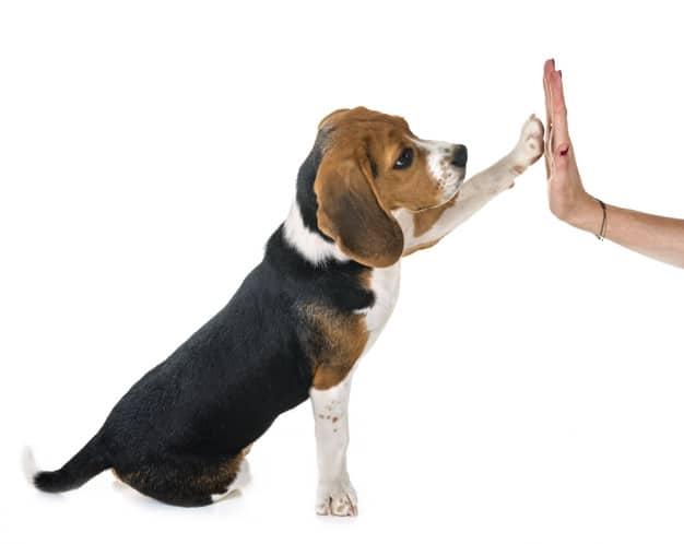 Saiba como ensinar o cão a parar de pular