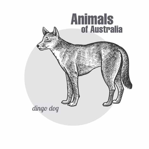 Conheça o cão selvagem australiano, o Dingo